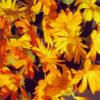 Calendula CO2 Extract (Calendula officinalis)