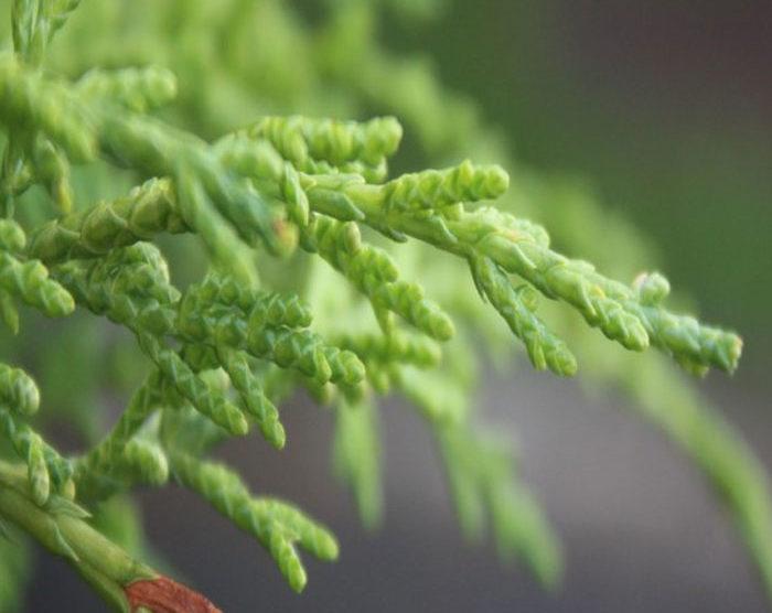 Cypress (Cupressus sempervirens)