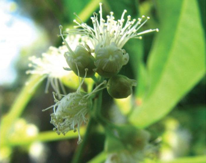 Lemon Myrtle (Backhousia citriodora)