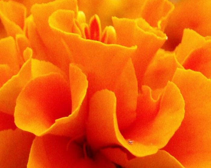 Marigold – Tagetes (Tagetes minuta)