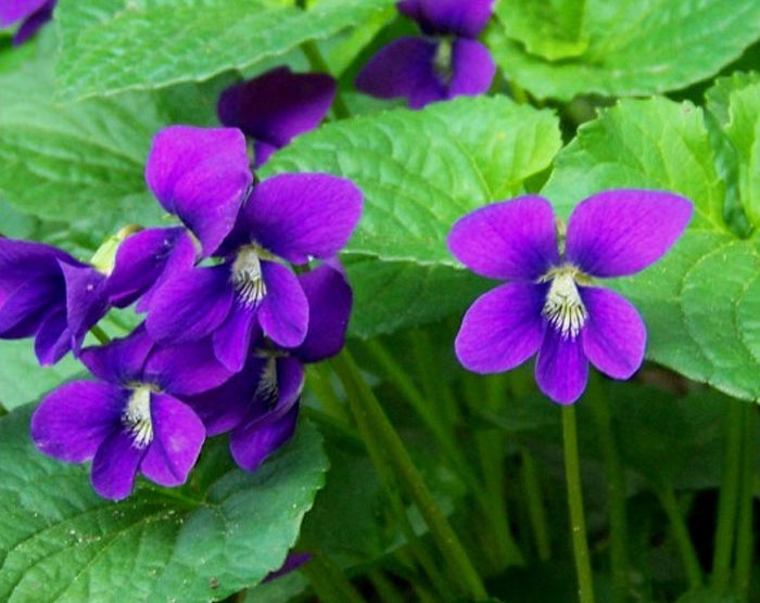 Violet Leaf Absolute (Viola odorata)