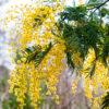 Wattle Absolute (Acacia Dealbata)