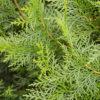 White Cypress – Leaf (Callitris glaucophylla)