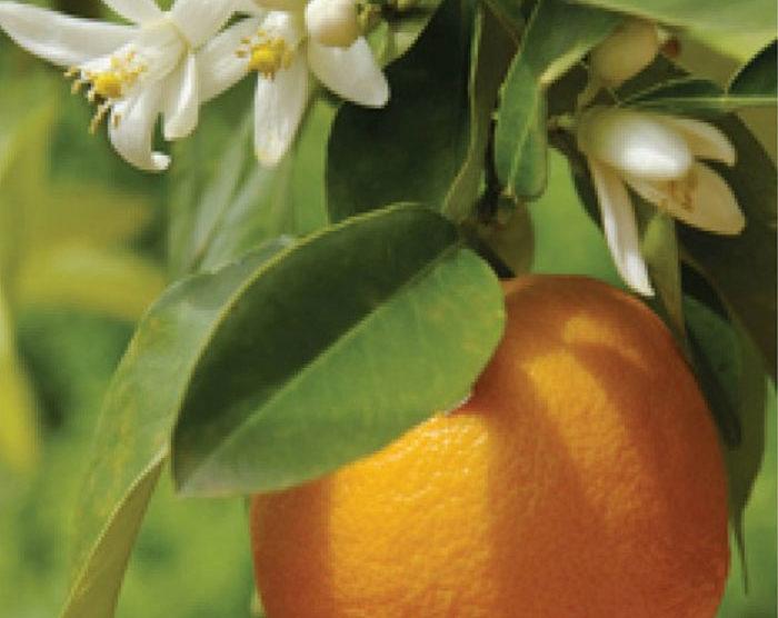 Orange – Sweet (citrus sinensis)