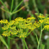 Fennel Sweet (oeniculum vulgare dulce)