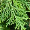 Thuja – White Cedar (Arborvitae)