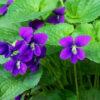 Violet Leaf (Viola odorata)
